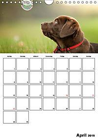 Labrador Welpe - Seelenhund (Wandkalender 2019 DIN A4 hoch) - Produktdetailbild 4