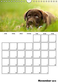 Labrador Welpe - Seelenhund (Wandkalender 2019 DIN A4 hoch) - Produktdetailbild 11