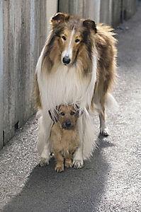 Lassie kehrt zurück - Produktdetailbild 2