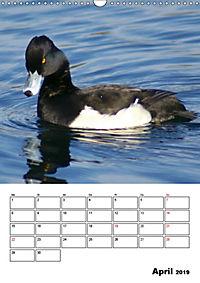 Liebenswerte Enten (Wandkalender 2019 DIN A3 hoch) - Produktdetailbild 4