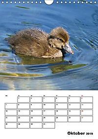 Liebenswerte Enten (Wandkalender 2019 DIN A4 hoch) - Produktdetailbild 10