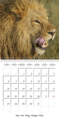 Lions Kings of the Jungle (Wall Calendar 2019 300 × 300 mm Square) - Produktdetailbild 5