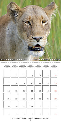 Lions Kings of the Jungle (Wall Calendar 2019 300 × 300 mm Square) - Produktdetailbild 1