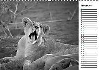 Löwen schwarz weiß (Wandkalender 2019 DIN A2 quer) - Produktdetailbild 1