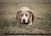 Louisiana Catahoula Leopard Dog 2019 (Tischkalender 2019 DIN A5 quer) - Produktdetailbild 5