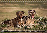 Louisiana Catahoula Leopard Dog 2019 (Tischkalender 2019 DIN A5 quer) - Produktdetailbild 7