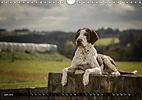 Louisiana Catahoula Leopard Dog 2019 (Wandkalender 2019 DIN A4 quer) - Produktdetailbild 6
