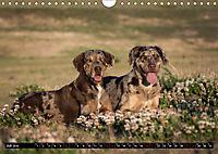 Louisiana Catahoula Leopard Dog 2019 (Wandkalender 2019 DIN A4 quer) - Produktdetailbild 7