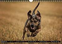 Louisiana Catahoula Leopard Dog 2019 (Wandkalender 2019 DIN A4 quer) - Produktdetailbild 8