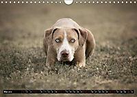 Louisiana Catahoula Leopard Dog 2019 (Wandkalender 2019 DIN A4 quer) - Produktdetailbild 5