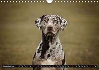 Louisiana Catahoula Leopard Dog 2019 (Wandkalender 2019 DIN A4 quer) - Produktdetailbild 9