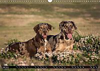 Louisiana Catahoula Leopard Dog 2019 (Wandkalender 2019 DIN A3 quer) - Produktdetailbild 7