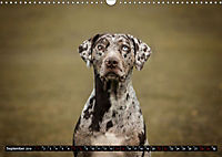 Louisiana Catahoula Leopard Dog 2019 (Wandkalender 2019 DIN A3 quer) - Produktdetailbild 9