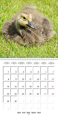 Lucky Geese (Wall Calendar 2019 300 × 300 mm Square) - Produktdetailbild 4