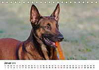 Malinois - Wahnsinn auf vier Pfoten (Tischkalender 2019 DIN A5 quer) - Produktdetailbild 1