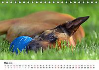 Malinois - Wahnsinn auf vier Pfoten (Tischkalender 2019 DIN A5 quer) - Produktdetailbild 5
