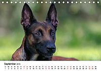 Malinois - Wahnsinn auf vier Pfoten (Tischkalender 2019 DIN A5 quer) - Produktdetailbild 9
