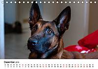 Malinois - Wahnsinn auf vier Pfoten (Tischkalender 2019 DIN A5 quer) - Produktdetailbild 12