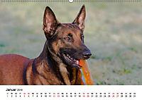Malinois - Wahnsinn auf vier Pfoten (Wandkalender 2019 DIN A2 quer) - Produktdetailbild 1