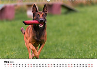 Malinois - Wahnsinn auf vier Pfoten (Wandkalender 2019 DIN A2 quer) - Produktdetailbild 3