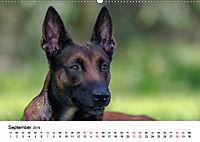 Malinois - Wahnsinn auf vier Pfoten (Wandkalender 2019 DIN A2 quer) - Produktdetailbild 9