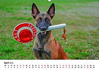 Malinois - Wahnsinn auf vier Pfoten (Wandkalender 2019 DIN A2 quer) - Produktdetailbild 4