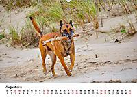 Malinois - Wahnsinn auf vier Pfoten (Wandkalender 2019 DIN A2 quer) - Produktdetailbild 8