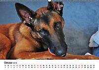 Malinois - Wahnsinn auf vier Pfoten (Wandkalender 2019 DIN A2 quer) - Produktdetailbild 10