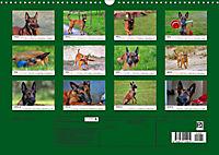 Malinois - Wahnsinn auf vier Pfoten (Wandkalender 2019 DIN A3 quer) - Produktdetailbild 13