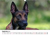 Malinois - Wahnsinn auf vier Pfoten (Wandkalender 2019 DIN A3 quer) - Produktdetailbild 9