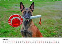 Malinois - Wahnsinn auf vier Pfoten (Wandkalender 2019 DIN A3 quer) - Produktdetailbild 4