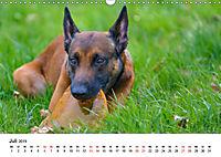 Malinois - Wahnsinn auf vier Pfoten (Wandkalender 2019 DIN A3 quer) - Produktdetailbild 7
