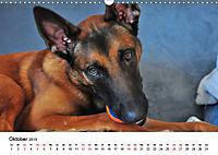 Malinois - Wahnsinn auf vier Pfoten (Wandkalender 2019 DIN A3 quer) - Produktdetailbild 10