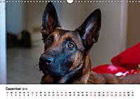 Malinois - Wahnsinn auf vier Pfoten (Wandkalender 2019 DIN A3 quer) - Produktdetailbild 12
