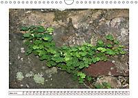 Mauerblümchen - Raus aus dem Schatten und rein in das Rampenlicht (Wandkalender 2019 DIN A4 quer) - Produktdetailbild 3