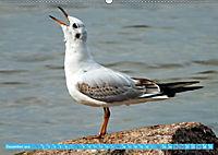 Mecklenburger Kapitänshühner (Wandkalender 2019 DIN A2 quer) - Produktdetailbild 12