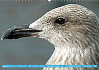 Mecklenburger Kapitänshühner (Wandkalender 2019 DIN A2 quer) - Produktdetailbild 5