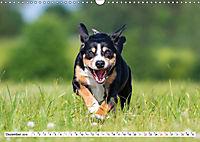 Mein bester Freund - Entlebucher Sennenhund (Wandkalender 2019 DIN A3 quer) - Produktdetailbild 12