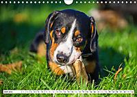 Mein bester Freund - Entlebucher Sennenhund (Wandkalender 2019 DIN A4 quer) - Produktdetailbild 6