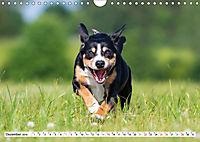 Mein bester Freund - Entlebucher Sennenhund (Wandkalender 2019 DIN A4 quer) - Produktdetailbild 12