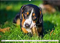 Mein bester Freund - Entlebucher Sennenhund (Wandkalender 2019 DIN A2 quer) - Produktdetailbild 6