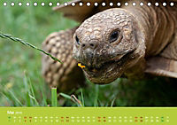 Meine Schildkröten (Tischkalender 2019 DIN A5 quer) - Produktdetailbild 5