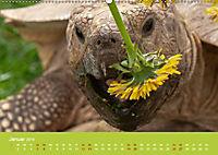 Meine Schildkröten (Wandkalender 2019 DIN A2 quer) - Produktdetailbild 1