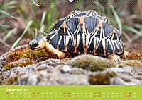 Meine Schildkröten (Wandkalender 2019 DIN A2 quer) - Produktdetailbild 9
