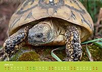 Meine Schildkröten (Wandkalender 2019 DIN A2 quer) - Produktdetailbild 6