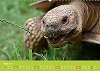 Meine Schildkröten (Wandkalender 2019 DIN A2 quer) - Produktdetailbild 5