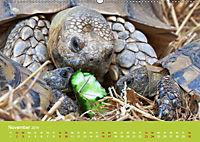 Meine Schildkröten (Wandkalender 2019 DIN A2 quer) - Produktdetailbild 11