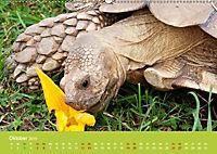 Meine Schildkröten (Wandkalender 2019 DIN A2 quer) - Produktdetailbild 10