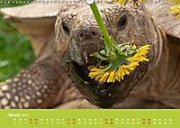 Meine Schildkröten (Wandkalender 2019 DIN A3 quer) - Produktdetailbild 1