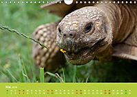 Meine Schildkröten (Wandkalender 2019 DIN A4 quer) - Produktdetailbild 5